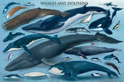 Empire Educational Whales and Dolphins - Póster de ballenas y delfines (en inglés)