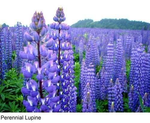 Tree Seeds Online - Lupin Perrenis. Azul Flores Perennes Lupin 50 Semillas - 10 Paquetes