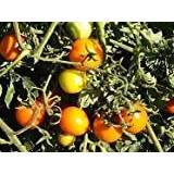Premier Seeds Direct Tomato Sun Drop includes 100 Seeds