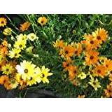 Premier Seeds Direct DIM01F African Daisy Dimorphotheca Finest Flower Seeds (Pack of 300)