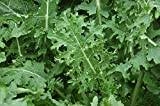 Premier Seeds Direct KAL06 Kale Borecole Heirloom White Russian Finest Seeds (Pack of 1600)
