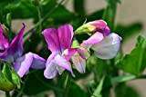 Premier Seeds Direct SWP56F Sweet Pea Dwarf Theresa Maureen Finest Seeds (Pack of 30)