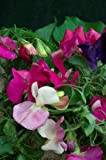Premier Seeds Direct SWP47F Sweet Pea Little Sweetheart Mix Seeds (Pack of 60)