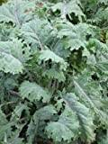 Premier Seeds Direct KAL02 Kale Borecole Siberian Seeds (Pack of 1000)