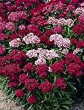 Premier Seeds Direct SWW04F 1.5 g Sweet William Indian Carpet Mix Seeds (Pack of 1600)