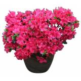 BCM Rhododendron »Japanische Azalee Maruschka«, rot
