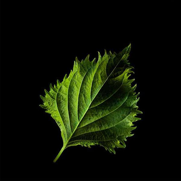 Plantui Shisolehti vihre�