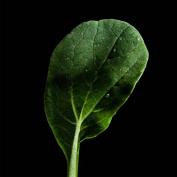 Plantui Tatsoi