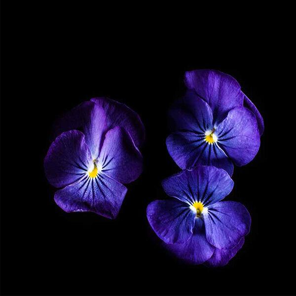Plantui Tarhasarviorvokki Sorbet True Blue