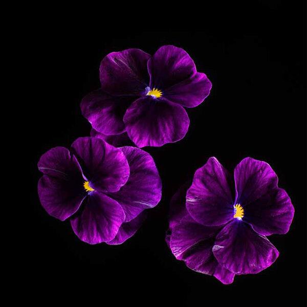 Plantui Tarhasarviorvokki Sorbet Purple