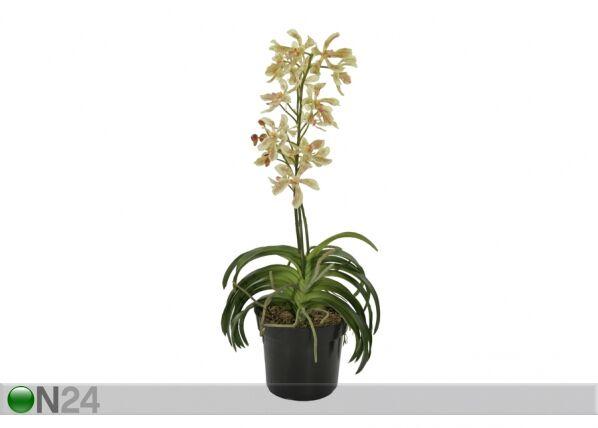 Shishi Teko-orkidea ruukussa