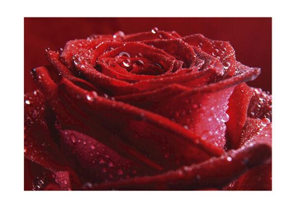 Bilder-Welten Kuvatapetti PROUD RED ROSE 400x280 cm