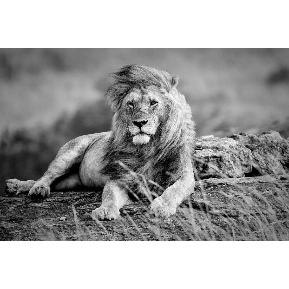 Ceanothe Tableau sur verre lion noir et blanc 45x65 cm