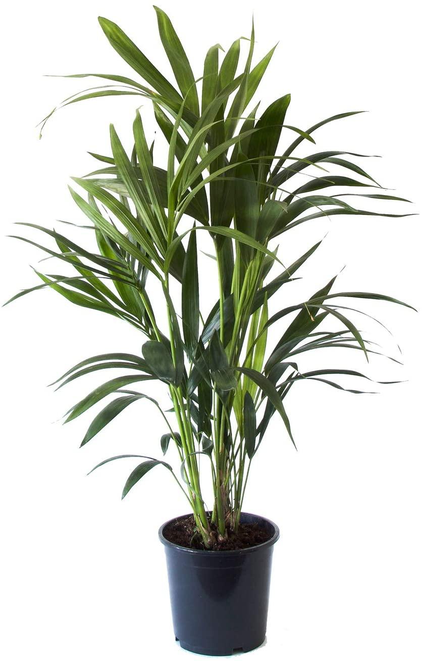 Flowy Plante d'intérieur - Palmier Kentia Howea de 90cm