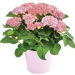 interflora  Interflora Bouquet Hortensia rose Hortensia rose - Plantes... par LeGuide.com Publicité