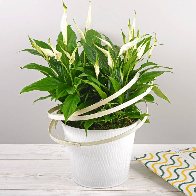 Interflora Bouquet Spathiphyllum