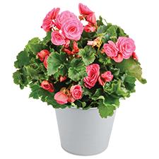 Interflora Bégonia rose