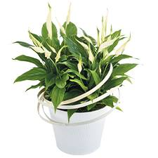 Interflora Spathiphyllum