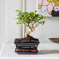 Interflora Bonsai Carmona
