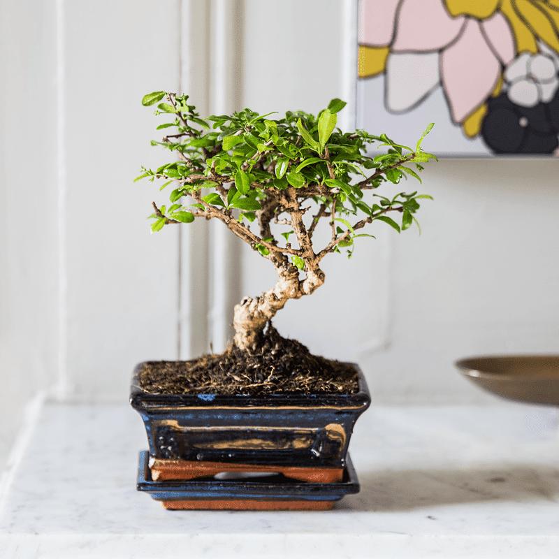 Interflora Bonsai Carmona - Livraison Plantes Interflora en 24H