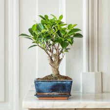 Interflora Bonsaï Ficus 5 ans d'âge
