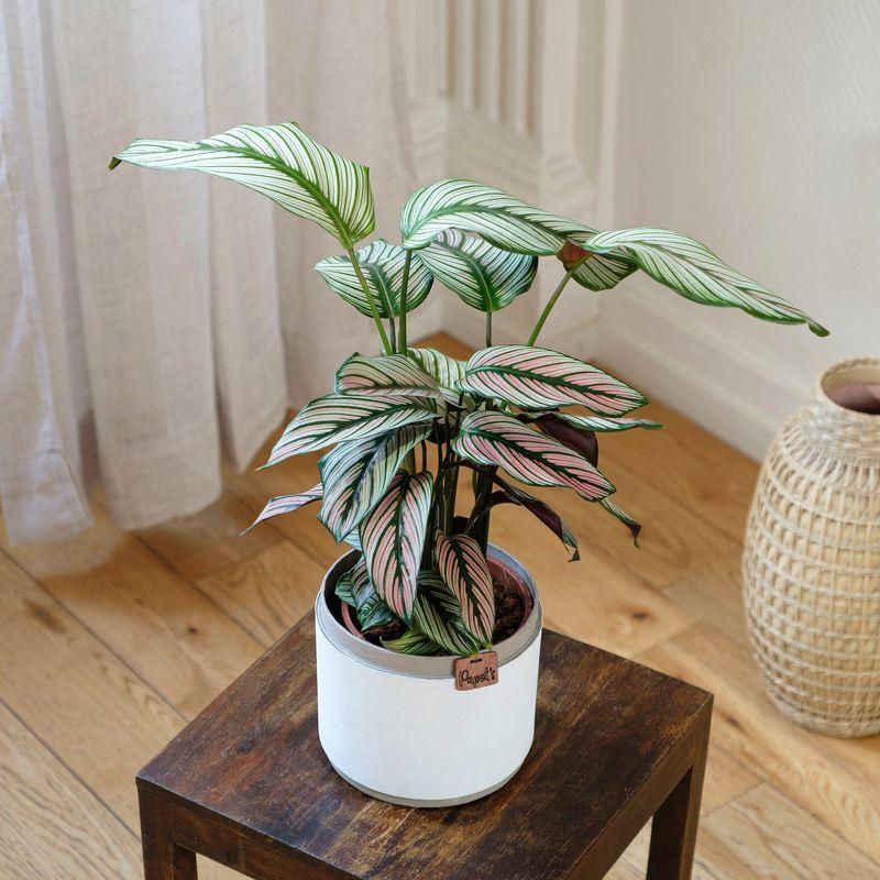 Interflora Calathea Majestica White Star - Livraison Plantes en 24H - Interflora