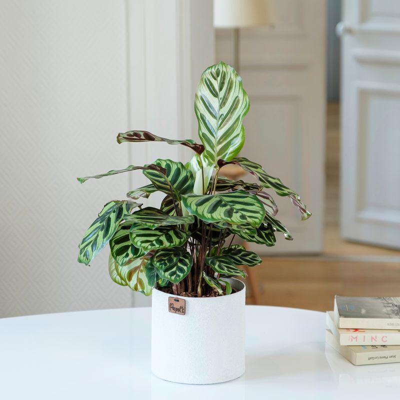 Interflora Calathea Makoyana - Plante d'intérieur - Livraison Plante à Domicile - Interflora