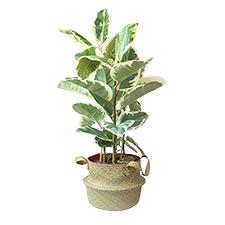 Interflora Ficus elastica