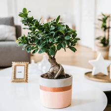 Interflora Ficus Ginseng