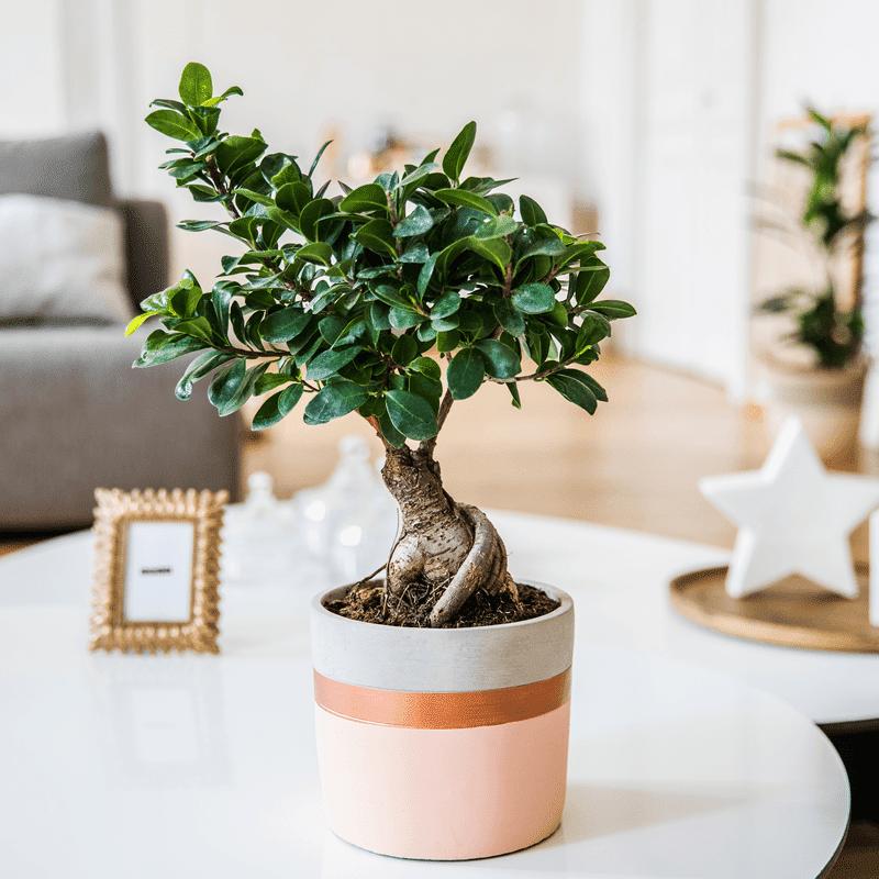 Interflora Ficus Ginseng - Collection plantes - Livraison par Chronopost - L'atelier Interflora