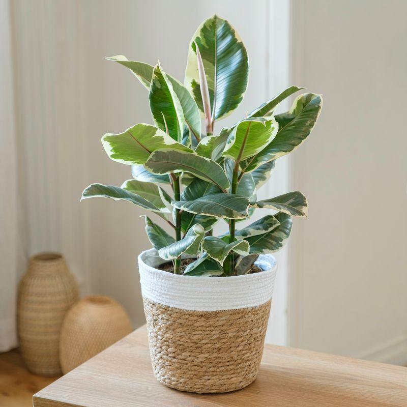 Interflora Ficus Elastica Tineke - Livraison Plante à Domicile - Plante Verte intérieur - Interflora
