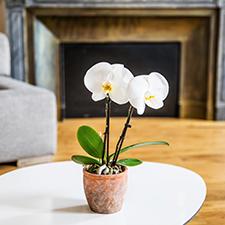Interflora Phalaenopsis Singolo
