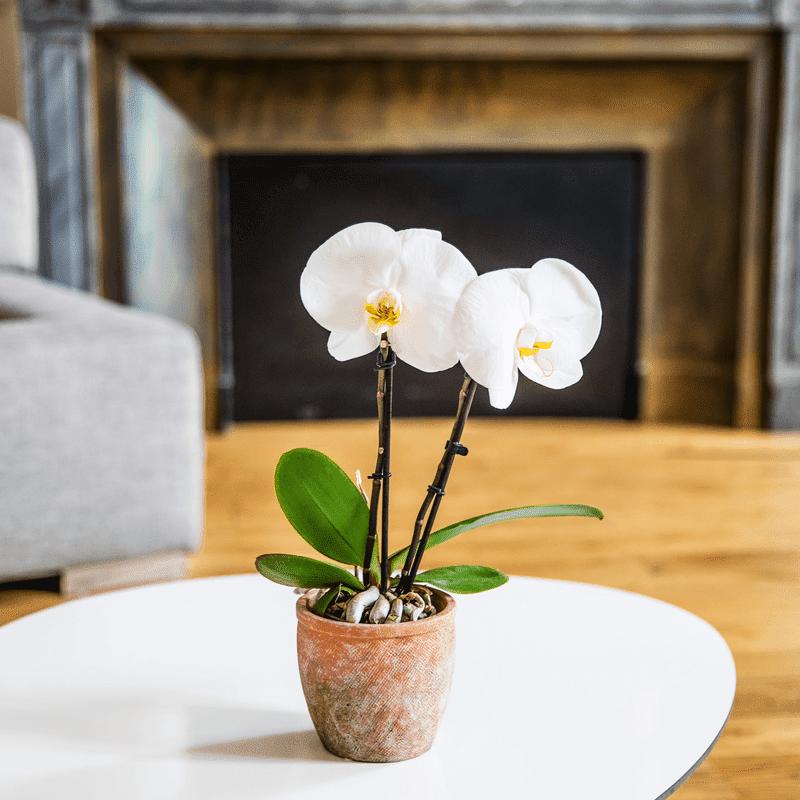 Interflora Livraison Orchidée Interflora - Phalaenopsis Singolo - Collection Plantes