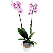 Interflora Phalaenopsis rose + cache pot