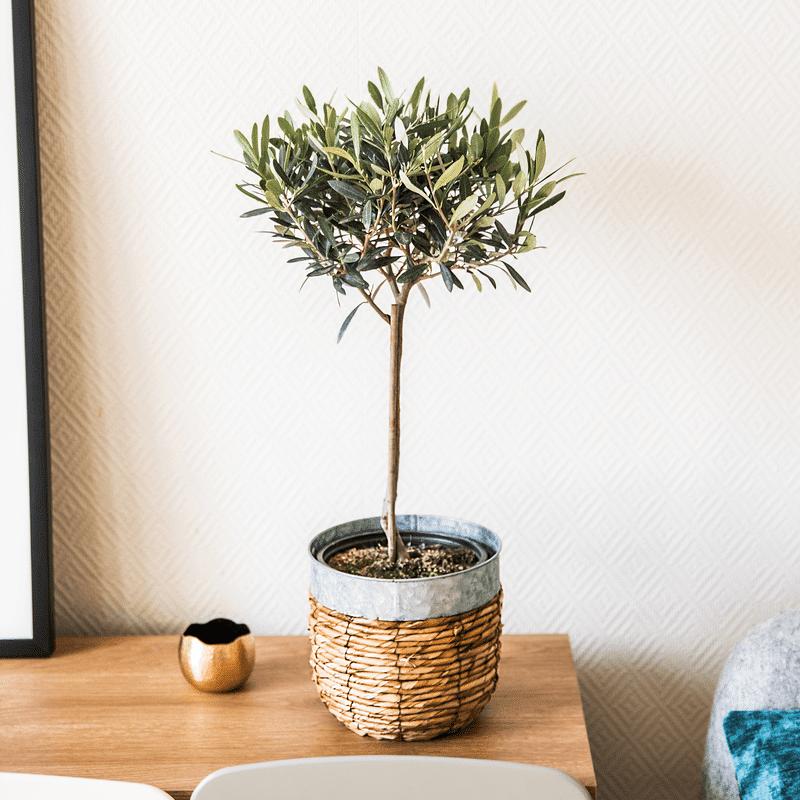 Interflora Olivier en pot 70cm - Livraison Plantes Interflora en 24H - Idée Cadeau