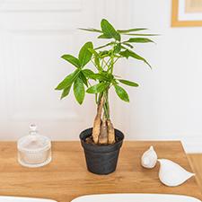 Interflora Pachira + cache pot