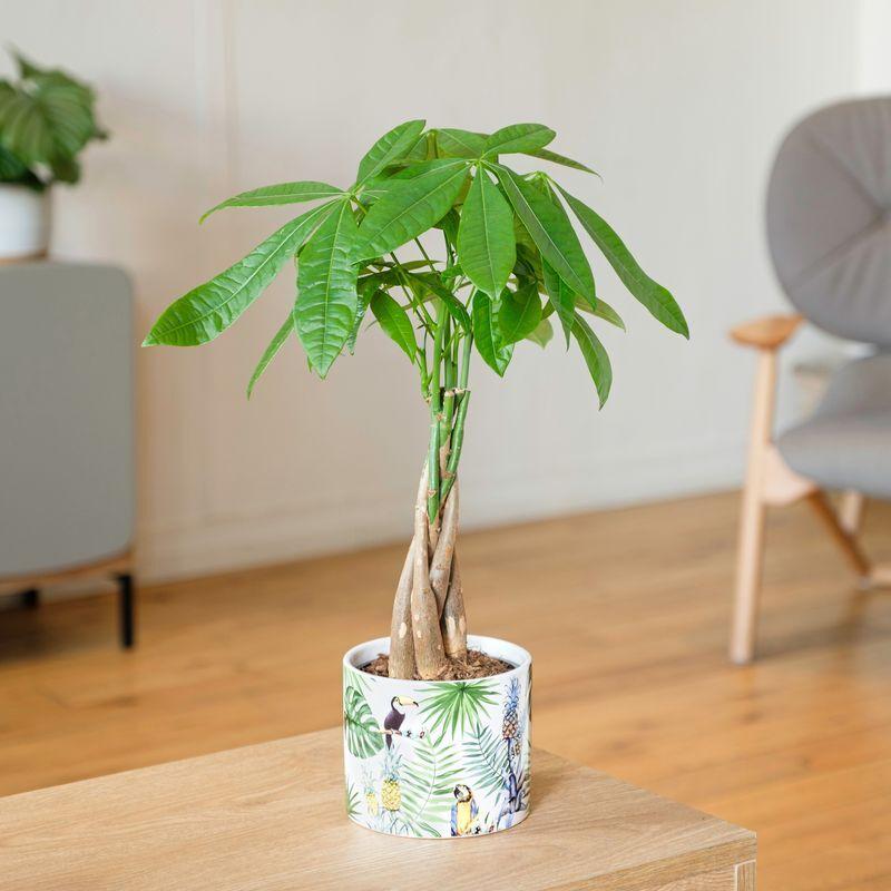 Interflora Pachira - Plantes Interflora - Livraison en 24H partout en France