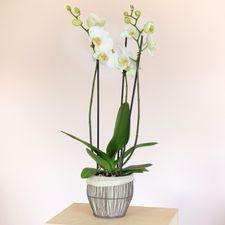 Interflora Orchidée phalaenopsis blanc 3 branches