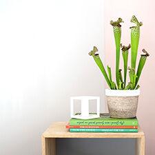 Interflora Sarracenia