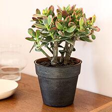 Interflora Crassula ovata