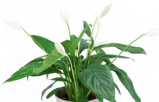Livraison plante dépolluante Spathiphyllum   Fleur de Lune.