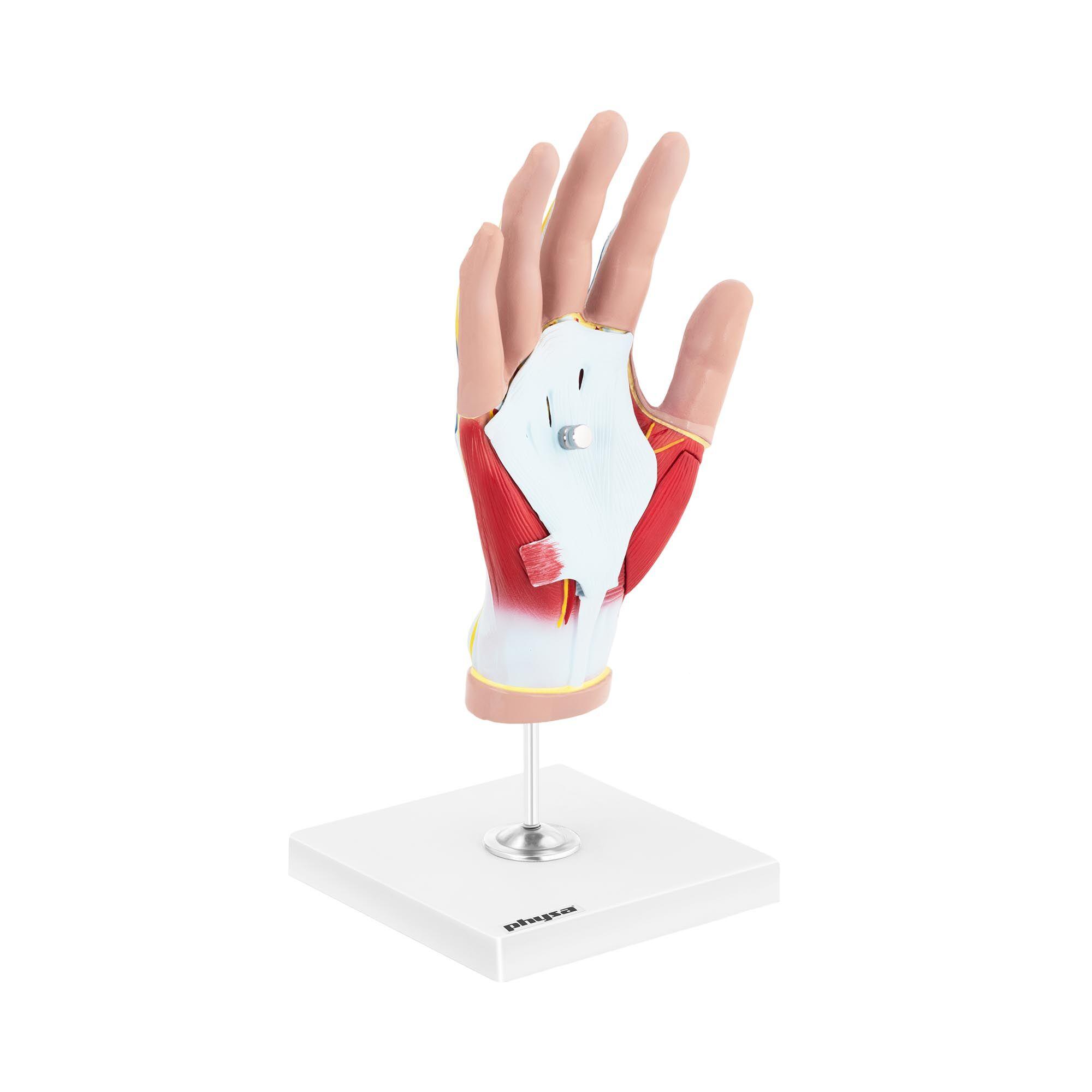 physa Maquette anatomique de la main humaine avec dégénérescence musculaire - En 4 parties - Grandeur nature PHY-HM-3