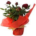 roses d antibes  Roses d'Antibes Mini Rosier Rouge Mini Rosier Rouge par LeGuide.com Publicité