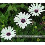 GEOPONICS 4: NOUVEAU Beautiful Fleuristes Cineraria Seeds graines Pot... par LeGuide.com Publicité