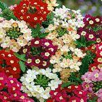 SANHOC Graines Paquet: 1: Il Verveine Fleuriste 1 paquet de seedsSEED... par LeGuide.com Publicité