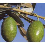 Vivai Gardenhome Olivo Grossa d'Espagne Arbre : L'olivier de... par LeGuide.com Publicité