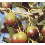 Vivai Gardenhome Olivo Frantoio Arbre : L'olivier de variété frantoïum... par LeGuide.com Publicité