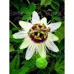 astonish  Astonish GRAINES D'ASTONIE: 3: de la fleur de la passion... par LeGuide.com Publicité
