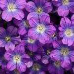 SVI Venus Looking Glass Blue Ground Cover Seeds (Legousia Speculum) 800... par LeGuide.com Publicité