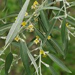 Arborix, plus vert - moins cher Elaeagnus Angustifolia- Olivier de Bohême... par LeGuide.com Publicité